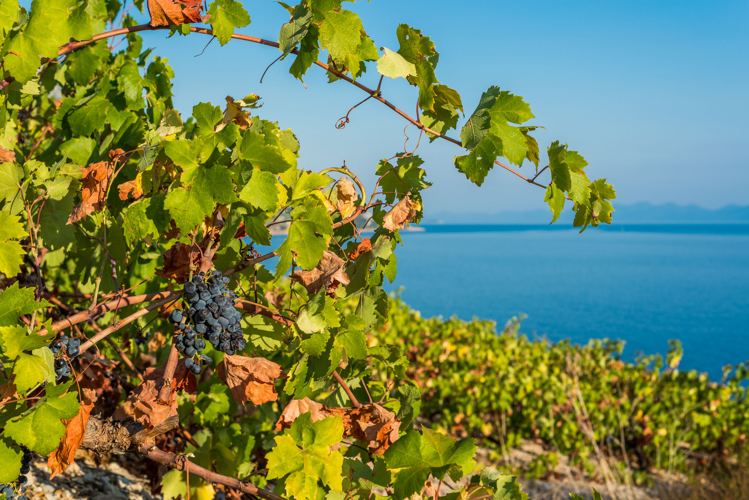 peljesac grapes